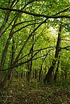 Renak-Polak Maple-Beech Woods.jpg