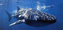 Тысячи зубов унизывают челюсти китовой акулы.  Страшная убивающая машина...