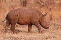 Rhino Calf at Mosi-Oa-Tuniya.jpg
