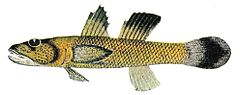 Rhinogobius carpenteri Seale 1910.jpg