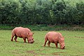 Rhinos South Lakes Wild Animal Park.jpg