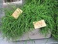 Rhipsalis cassutha in a garden centre.jpg