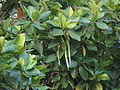 Rhizophora mucronata12.JPG