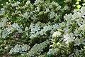 Rhododendron Allegory 5zz.jpg