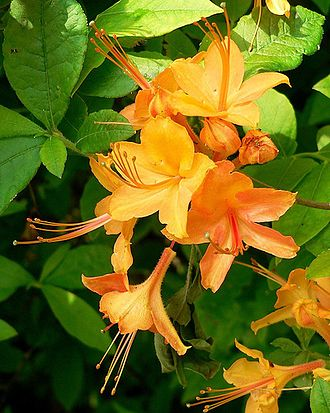 Great Balsam Mountains - Image: Rhododendron calendulaceum
