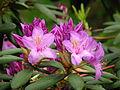 Rhododendron catawbiense 12.JPG