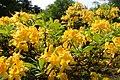 Rhododendron luteum kz09.jpg