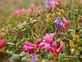 Rhododendron myrtifolium Soldanella hungarica.jpg
