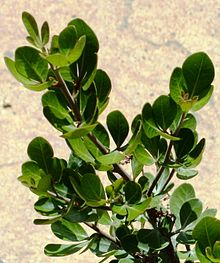 Rhus lucida - leaves detail - Cape Town 8.jpg