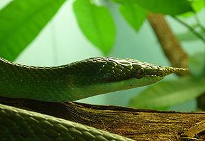 Rat snake - Rhinoceros ratsnake, Rhynchophis boulengeri