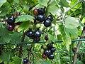 Ribes Odoratum1.JPG
