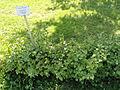 Ribes alpinum - Botanical Garden in Kaisaniemi, Helsinki - DSC03483.JPG
