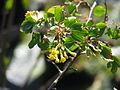 Ribes aureum gracilimum (17165163065).jpg