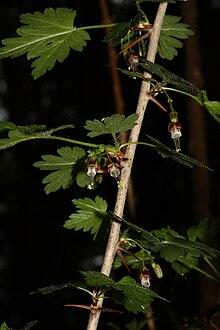 Geliebte Oregon-Stachelbeere – Wikipedia @MR_42