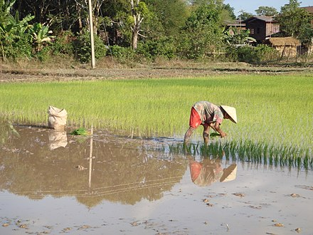 About 80% of the Laotian population practises subsistence agriculture. Rice planting near Champasak (Laos).jpg