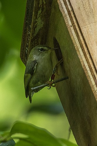 Rifleman (bird) - Male at nesting box