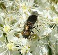 Riponnensia splendens (female) - Flickr - S. Rae (1).jpg