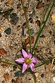 Romulea rosea 1DS-II 3-5935.jpg