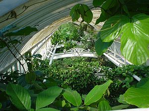 roofclimbing plants inside a greenhouse at Kew...
