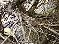 Roots of Thuja occidentalis near the shore of Lake Champlain.jpg