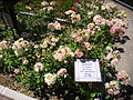 Rosa 'Comtesse du Barry' Verschuren 1993 RPO.jpg