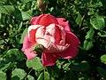Rosa Benjamin Britten 2019-06-04 5993.jpg