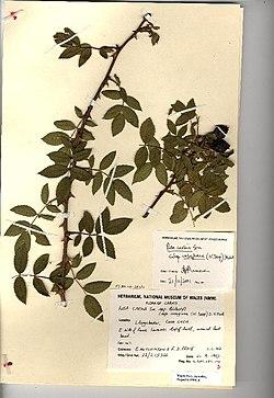 Rosa caesia herbarium (04).jpg