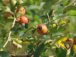 owoce dzikiej róży - źródło Wikipedia