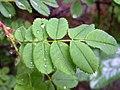 Rosa spinosissima leaf (02).jpg
