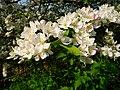 Rosa weiße Apfelblüten.JPG