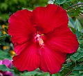 Rose Mallow (29538002701).jpg