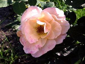 Rose Westerland.JPG