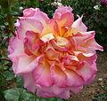 Rose au nom inconnu Jardin des Plantes.JPG