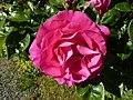 Rose de chanteloup - panoramio.jpg
