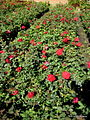 Roses Kamal Nursery.JPG