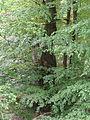 Rotbuche im Isseltal (Hoch-Weisel) 04.JPG