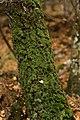 Roville-aux-Chênes, mousse sur un tronc 02.jpg