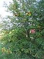 Rowan-berries (Sorbus aucuparia), Sweden, 20150828e.jpg