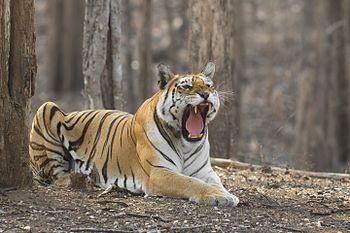 Royal Bengal Tiger-0068.jpg