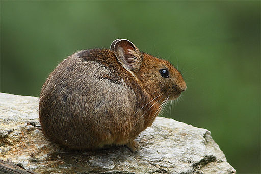 a small and cute rodent-like animal sits on a rock
