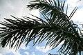 Roystonea regia var. maisiana 19zz.jpg