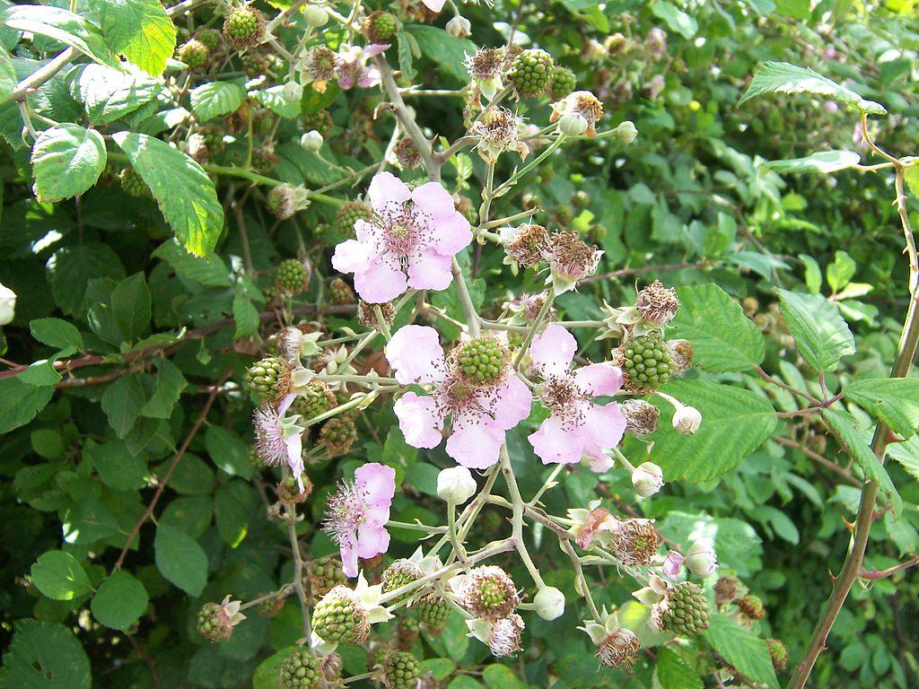Ostružina černicová (černica) - kvety a nezrelé plody