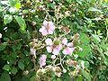 RubusFruticosus FlowersAndUnripenFruits 02.jpg