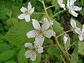 Rubus allegheniensis 2017-05-23 1494.jpg