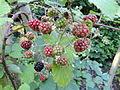 Rubus bifrons - Botanischer Garten, Frankfurt am Main - DSC02472.JPG
