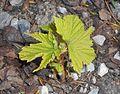 Rubus odoratus 2016-04-22 8658.jpg