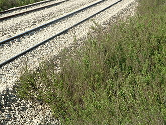 Ruderal species - A single-species ruderal community of Dittrichia viscosa on gravel near Petah Tikva-Sgula railway station, Israel. (Compare with mixed-species image below.)