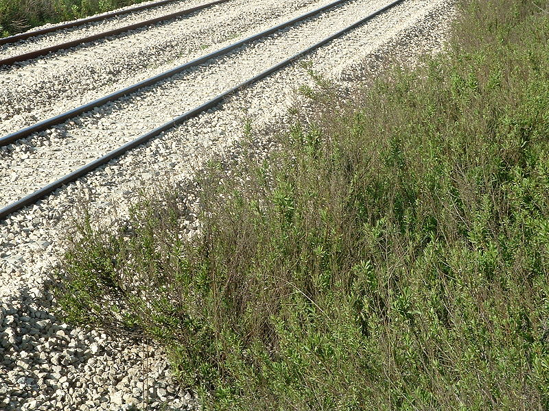 File:Ruderal community Dittrichia viscosa on gravel01.jpg