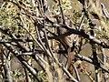 Rufous-crowned Sparrow Leslie Canyon NWR Douglas AZ 2017-11-24 12-26-59 (38363626674).jpg
