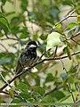 Rufous-naped Tit (Periparus rufonuchalis) (15709903959).jpg